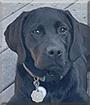 Koda the Labrador Retriever