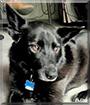 Daisy the German Shepherd/Labrador Retriever mix