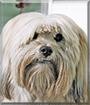 Harley the Lhasa Apso, American Eskimo Dog mix