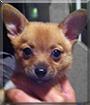 Nala the Pomeranian, Chihuahua mix