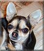 Bella Rose the Chihuahua