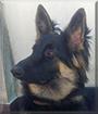 Blacky the German Shepherd Dog