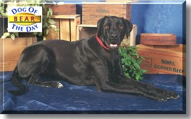 Bear Great Dane Rottweiler Mix October 21 1999