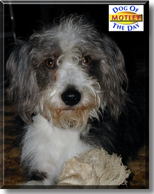 Poodle beagle mix breeders motley the dog of the day