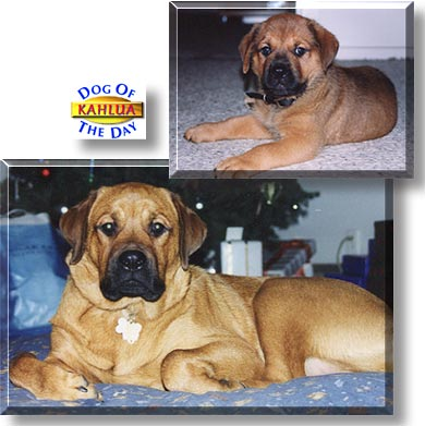 Kahlua English Mastiff Rottweiler May 16 2002