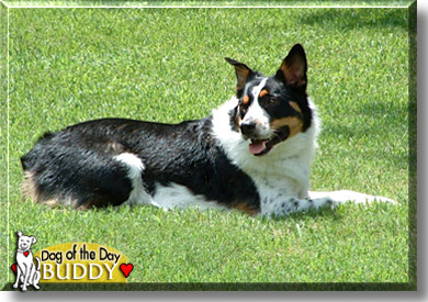 Buddy - Australian Shepherd, Blue Heeler mix - May 20, 2005