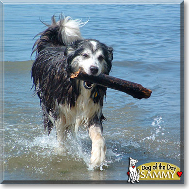 Sammy - Malamute, Border Collie - December 9, 2006