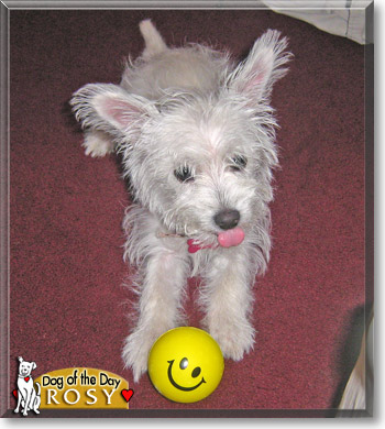 ... Pictures chihuahua poodle toy or tea cup mix dog for adoption