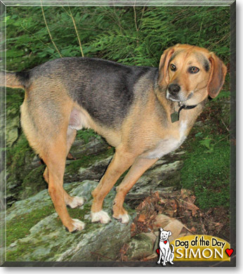 Simon - Beagle, foxhound mix - September 21, 2007