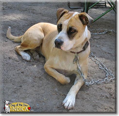 Bloodhound Boxer Mix