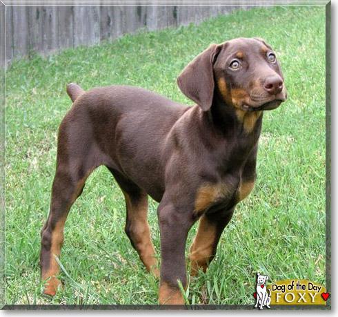 Blue Doberman Skin Problems   Dog Breeds Picture