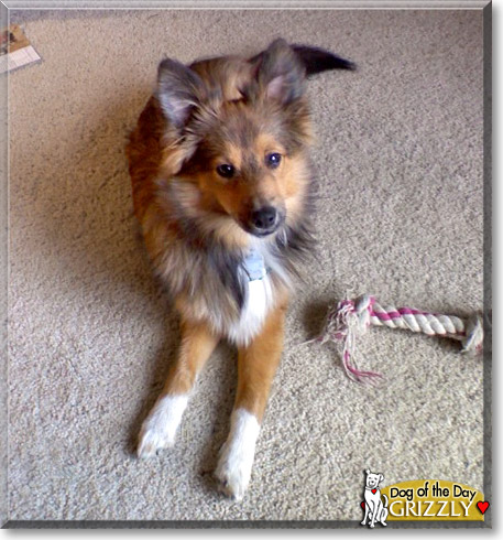 Pomeranian Sheltie Mix Grizzly, the dog of the day
