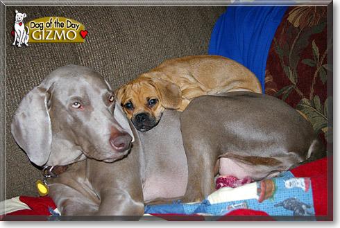 Gizmo Beagle Pug Mix September 7 2009