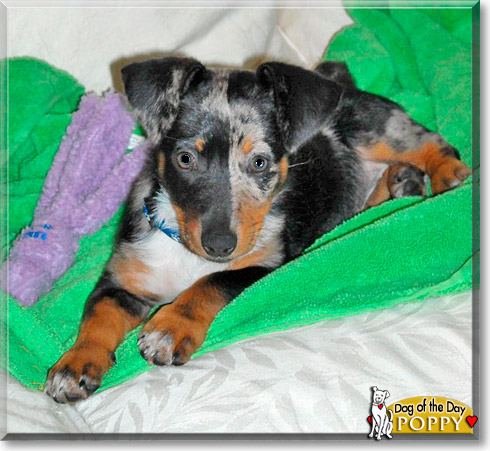 Poppy - Blue Heeler, Dachshund - December 28, 2010