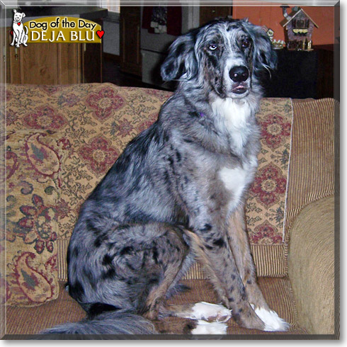 Great Dane Australian Shepherd Mix Deja blu - aussie, great dane