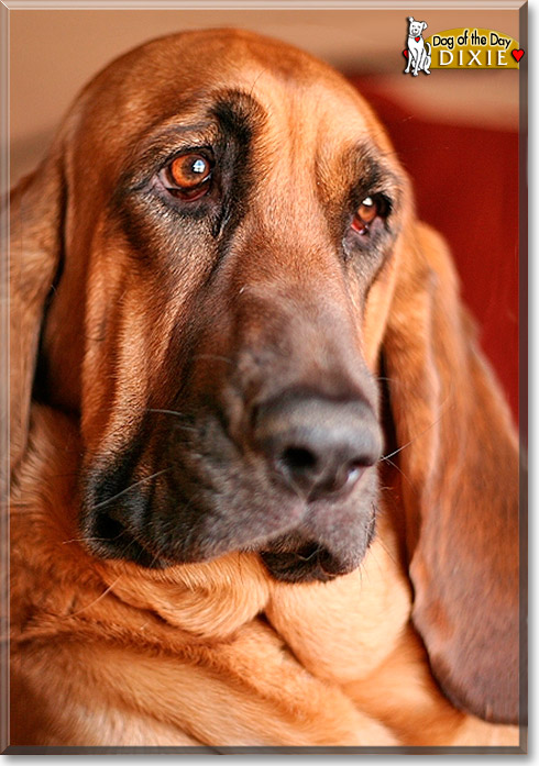 Dixie Bloodhound October 25 2011
