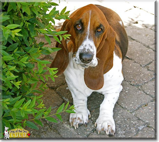 Basset Hound Won T Eat Dog Food
