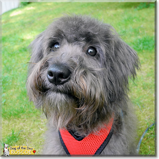 Roscoe - Toy Poodle, Miniature Schnauzer - June 10, 2013