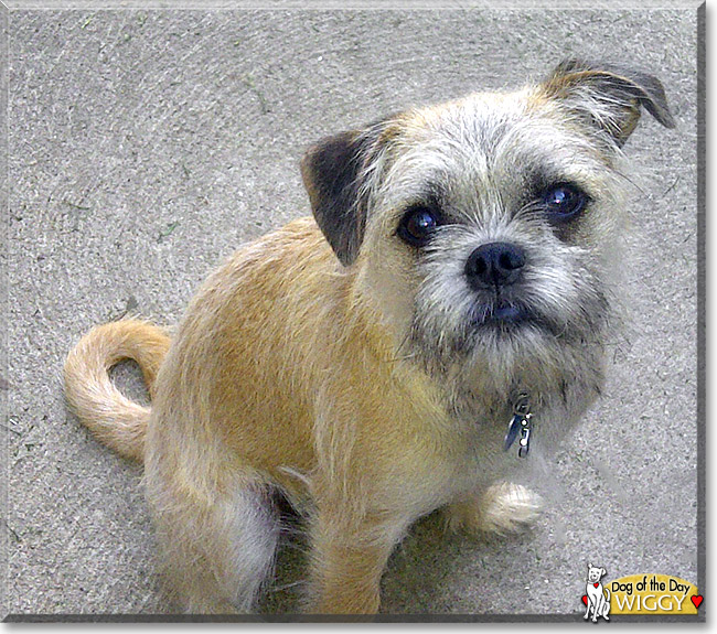 Wiggy  the Dog of the Day  Brussels Griffon And Pug Mix