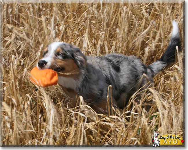 ... the australian shepherd mix puppies daily puppy health australian