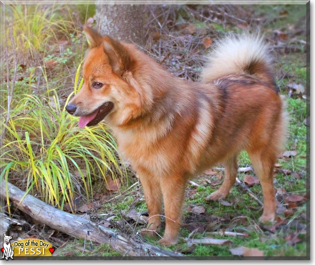 """""""Pessi the Finnish Spitz/Lapphund"""" - Dog of the Day ..."""