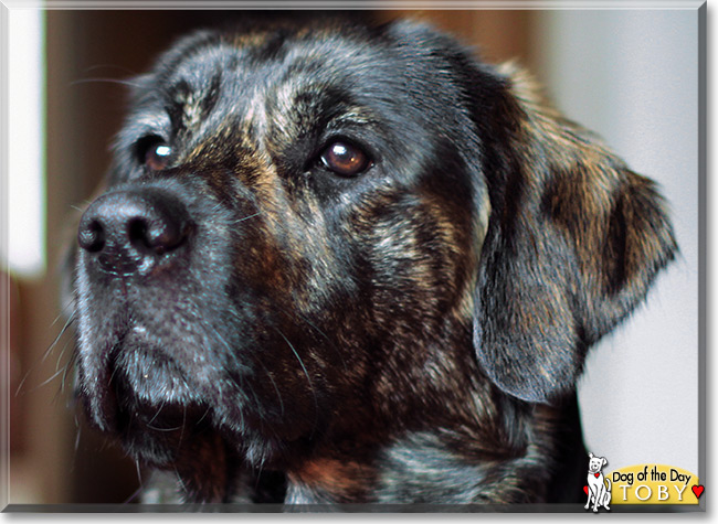 Toby The Golden Retriever Labrador Mix Dog Of The Day May 31 2015