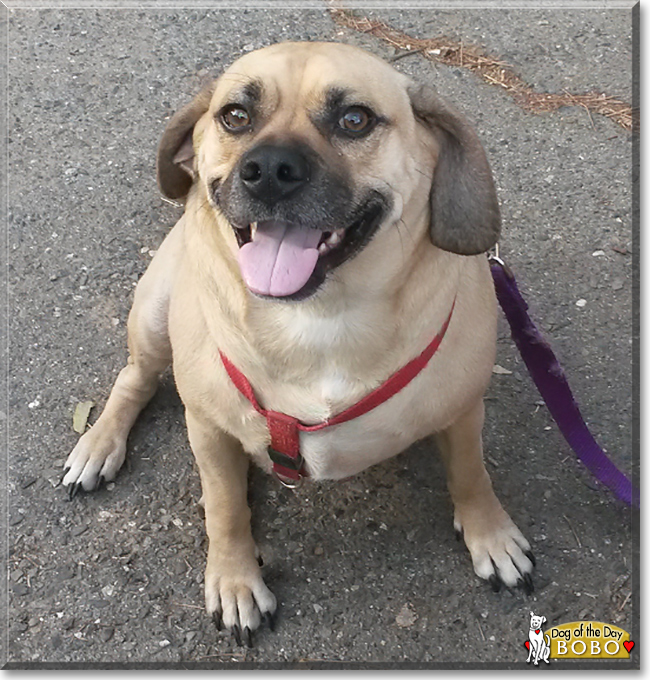 Bobo The Pug Beagle Mix Dog Of Day