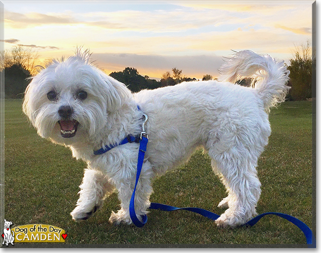 a description of me finding a spot as a maltese poodle We have found given already proven yorkie, maltese, shihtzu, poodle or morkie, shorkie, maltipoo dams and always purebred yorkie, maltese, shihtzu, and poodle sires, already allergy friendly breeds make allergy friendly dogs.
