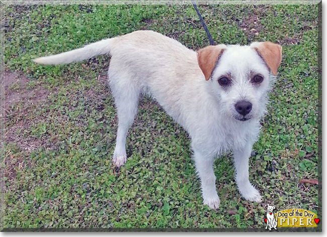 Piper Wire Haired Jack Russell Mix July 12 2016
