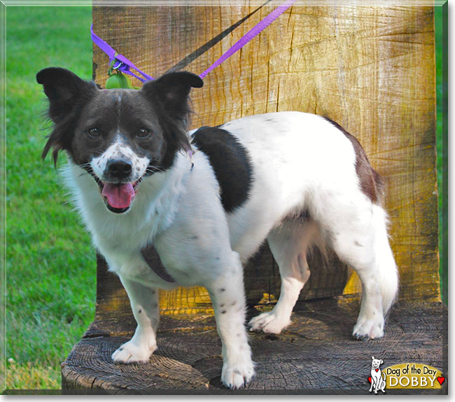 Dobby - Border Collie/Rat Terrier Mix - July 26, 2016