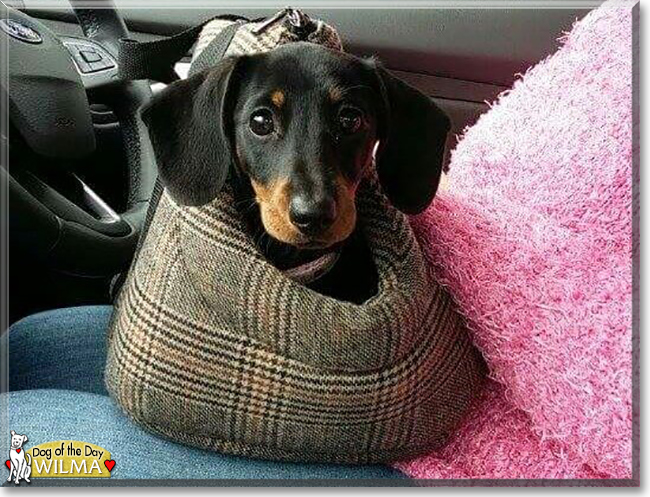 Wilma the Miniature Dachshund, the Dog of the Day