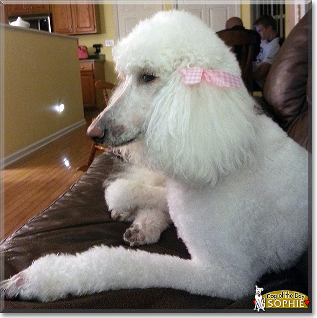 Sophie the Standard Poodle, the Dog of the Day