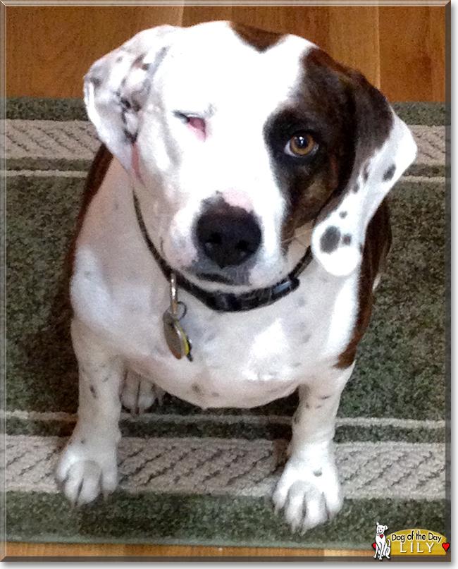 Lily - Beagle, Plott H...