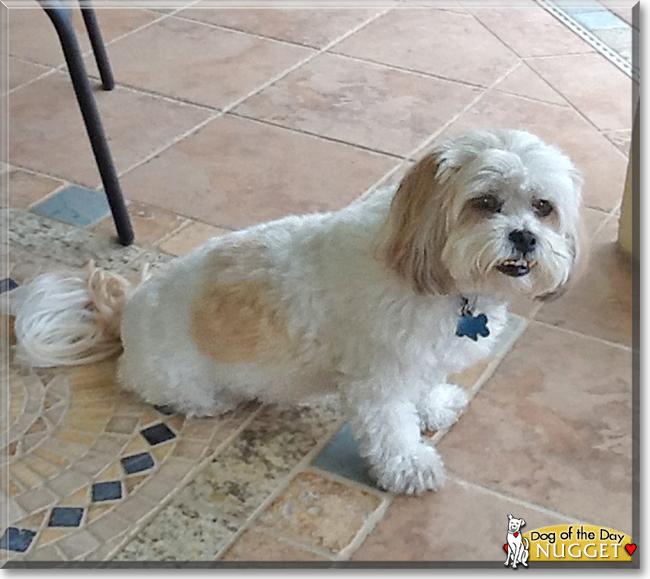 Nugget The Shih Tzu Poodle Mix Dog Of Day