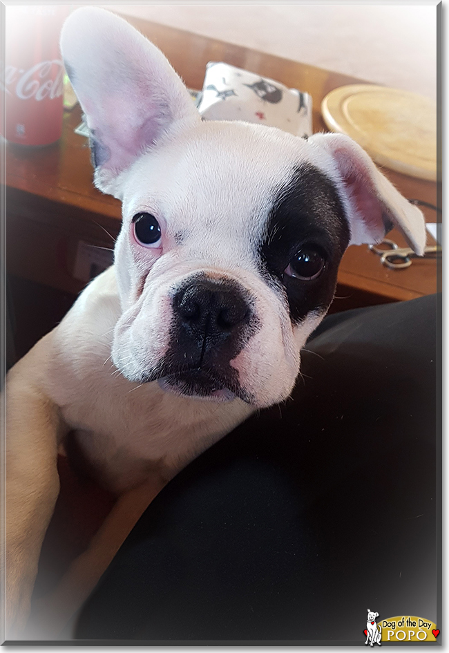 Popò the French Bulldog, the Dog of the Day