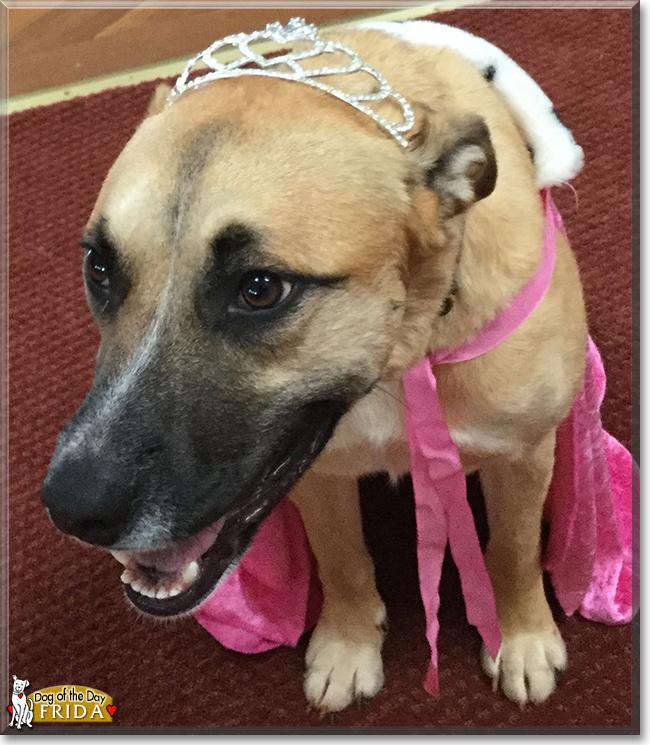 Frida Pitbull German Shepherd Hound Mix January 8 2018