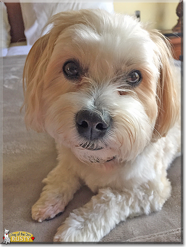 Lhasa Apso 2 Years Old Rusty - Lhasa A...