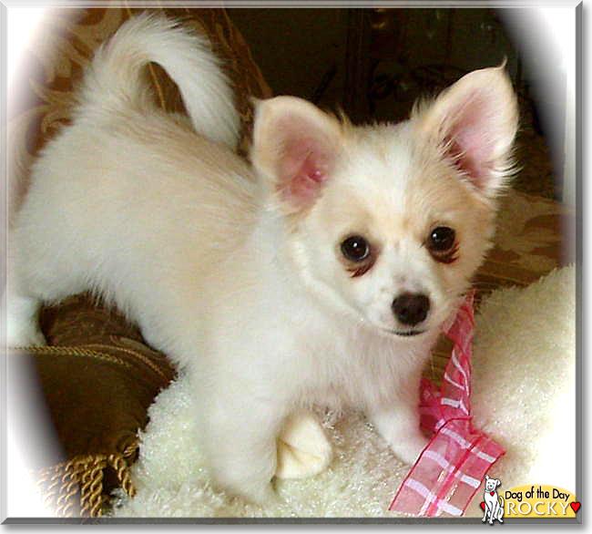 Rocky Pomeranian Chihuahua Mix November 30 2018