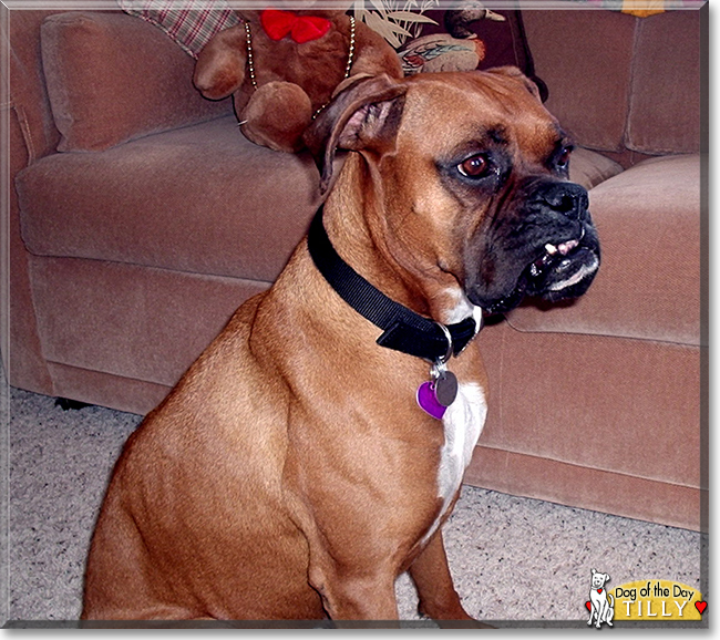 Tilly the Boxer, the Dog of the Day