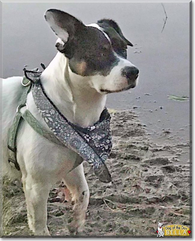 Bella the Jack Russell Terrier mix, the Dog of the Day