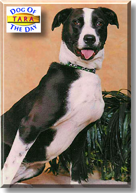 Tara - Pit Bull mix - September 13, 2002