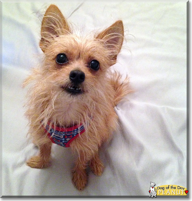 cairn chihuahua quot peanut the chihuahua cairn terrier mix quot dog of the day 3805