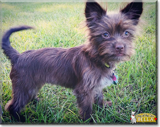 wire haired terrier chihuahua mix bella wire hair terrier chihuahua mix october 10 2016 4239