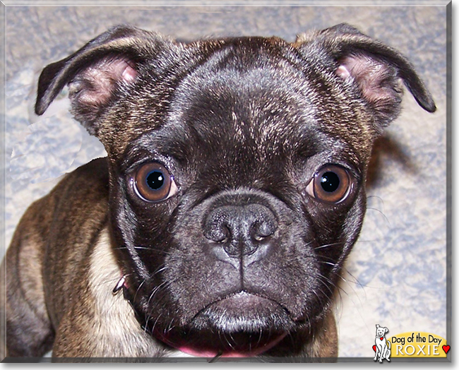 boston terrier pug mix roxie boston terrier pug mix july 23 2018 432